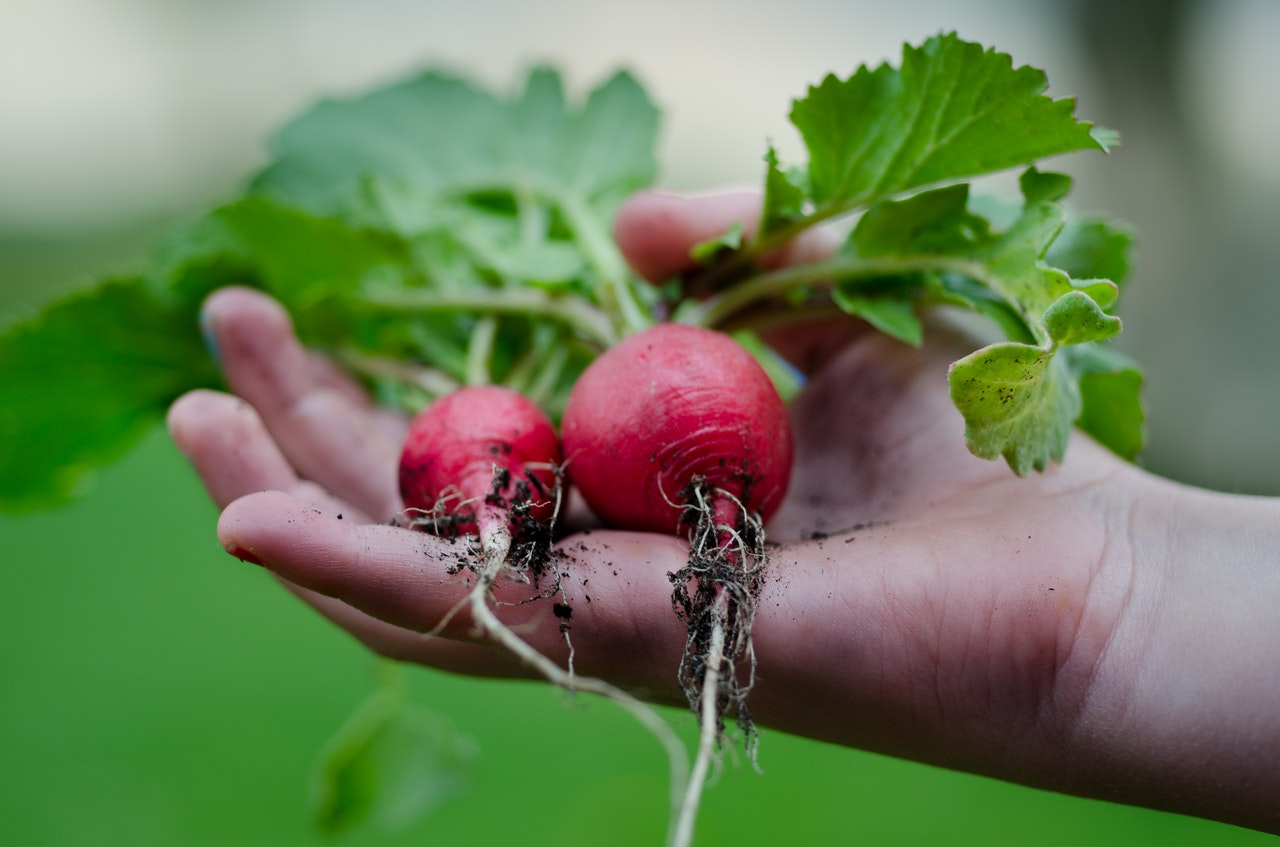 How to grow Garden Radishes outdoors UK