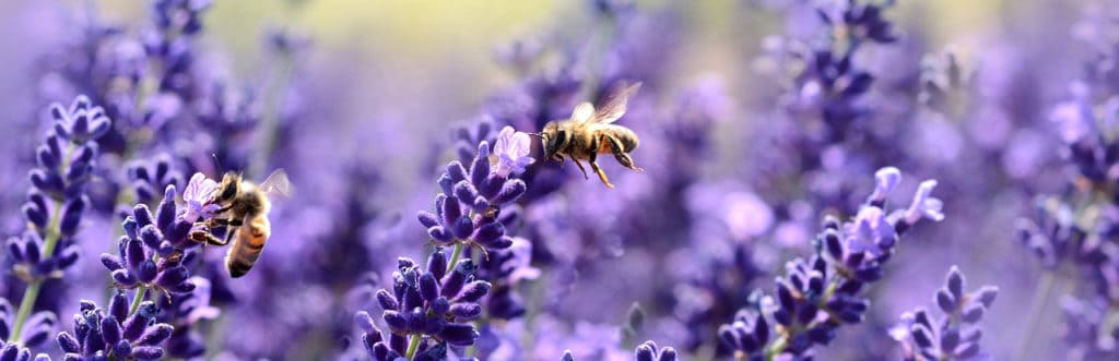 Bee's pollinating lavender