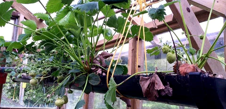 Strawberries grown in guttering