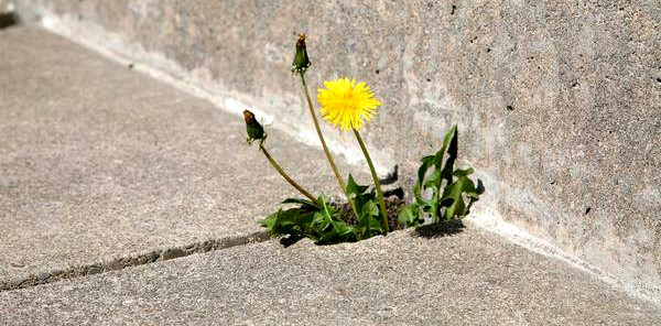 Dandelion in the patio