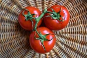 Growing tomato uk